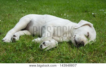 Sweet cute Labrador puppy dog sleeping on a meadow and dreaming