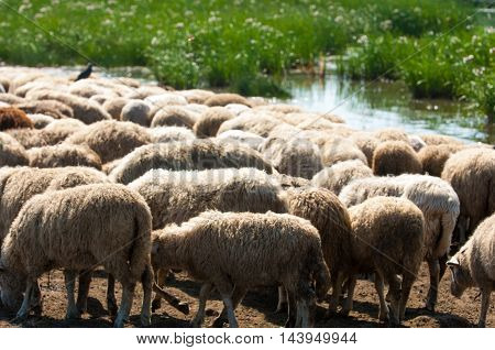 A Herd Of Sheep, Cows On The Watering Place,