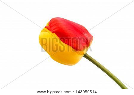 yellow-red tulip flower on a white background