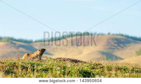 Marmot, Woodchuck.