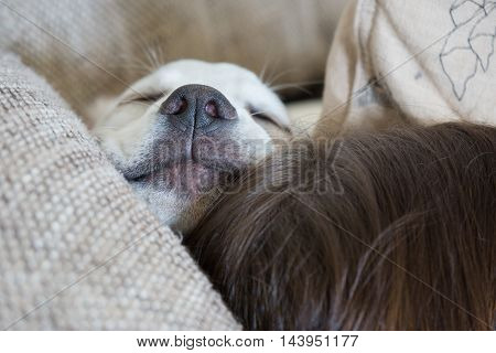 Sweet cute Labrador puppy dog sleeping on the couch in his bed with the nose in the air