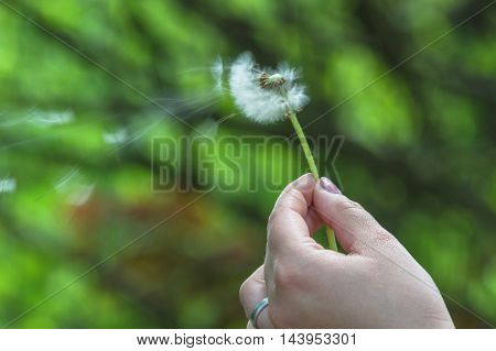 Closeup of dandelion in a hand against green background.
