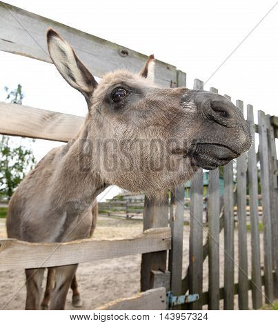Cute grey donkey on the farm and wooden fence. Sad shy gray donkey on a farm. Mule and wooden fence on farm