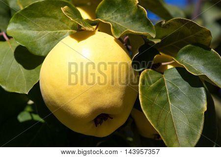 Juicy raw ripe quince fruit on tree, organicity. Nature, gardening
