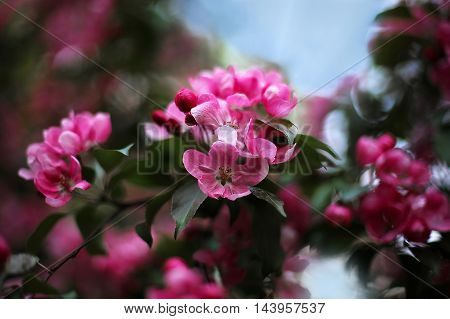 beautiful pink blossoms on a tree on blue sky background