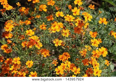 Tagetes flowers is one of the famous flowers