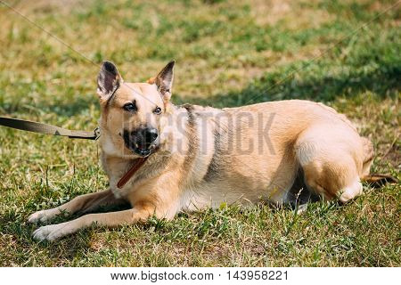 Medium Size Mongrel Mixed Breed Short-Haired Yellow Adult Female Dog Sitting On Trimmed Sunny Lawn.