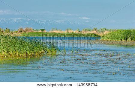 River Reeds.