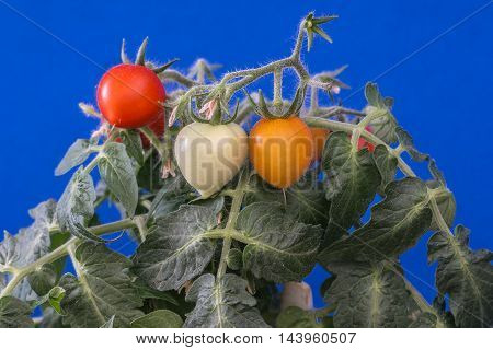 Miniature tomatoes on a blue background .