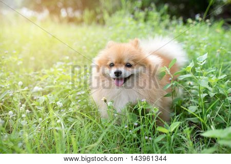 cute fluffy Pomeranian dog sitting in a spring park surrounded by yellow flowers on a sunny day
