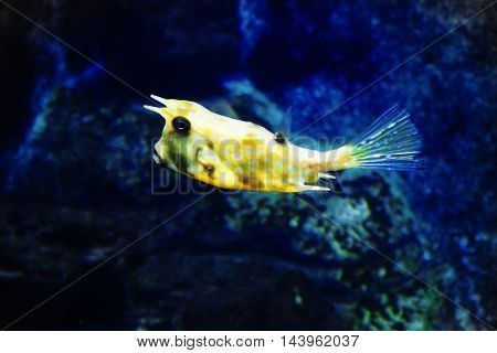 fun bright zhelaya fish in a white speck , yellow , fish , underwater, blue,