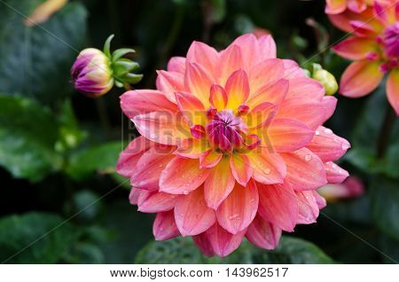 one lovely flower in the family dahlia the name is My Beverly