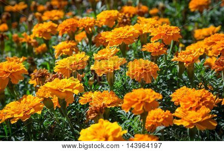 Orange French marigolds on the bed, floral natural background