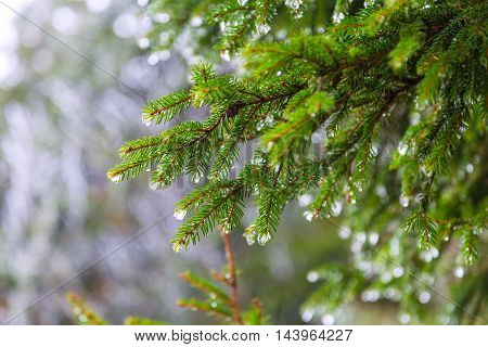 Melting snow on fir-tree branches, natural winter background with empty space for text