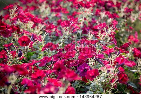 Flower natural background with blossoming red petunias, closeup