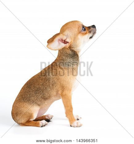 One beige puppy of Chihuahua sits on white isolated background
