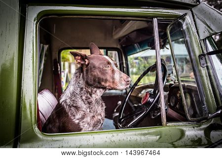 An Australian Kelpie dog spotted in the driver's seat of an old classic car in Kuranda, Queensland, Australia