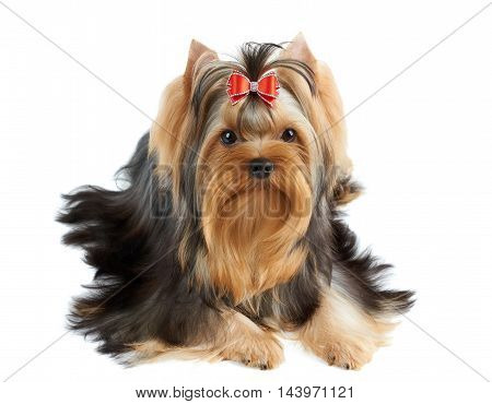 Beautiful Yorkshire Terrier of show class with perfectly groomed long hair and red bow.