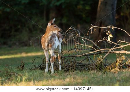 Piebald Whitetail Deer Fawn