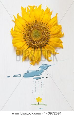 sunflower on a white wooden background - Spring idea