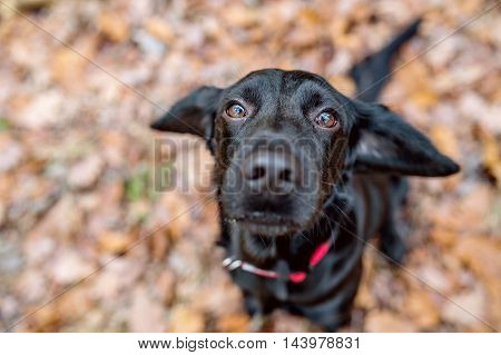 Close up of black dog with red collar outside in sunny autumn forest
