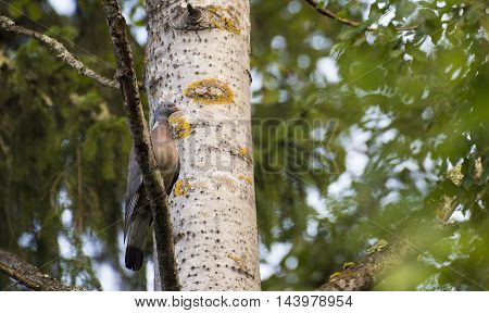 Wood pigeon sitting on an Aspen branch in the Finnish forest in the beginning of August 2016.