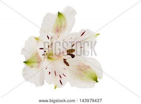 white Alstroemeria colorful flower on a white background