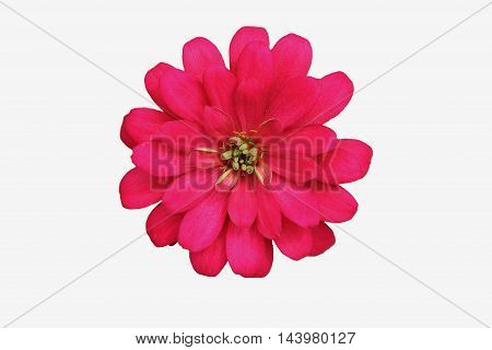 The Pink zinnia with isolated white background