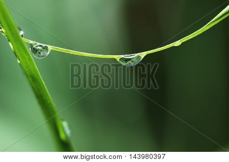 Dew drops on green fresh grass leaves