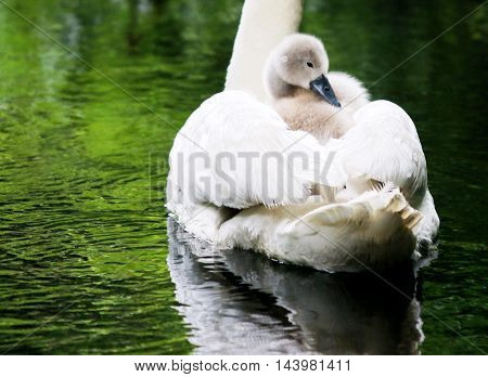 A baby swan hitches a ride on mothers back