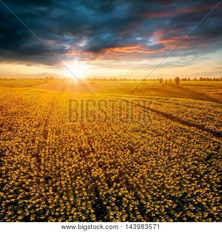 Field with blooming sunflowers on a background of sunset. Aerial view. From above. Outdoor. Beautiful dark blue dramatic sky.