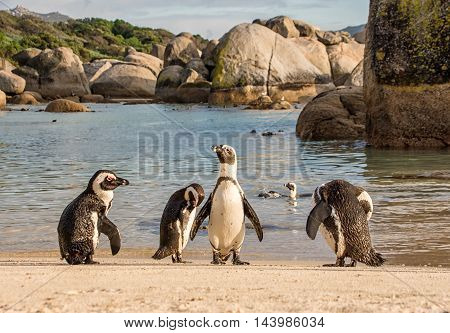 A group of African Penguins on a beach in Southern Africa