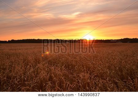 Fantastic wheat field at dawn. Colorful sky. The world of beauty.