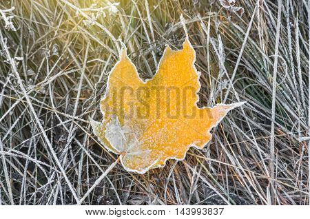 The frozen yellow maple leaf in late autumn before winter close