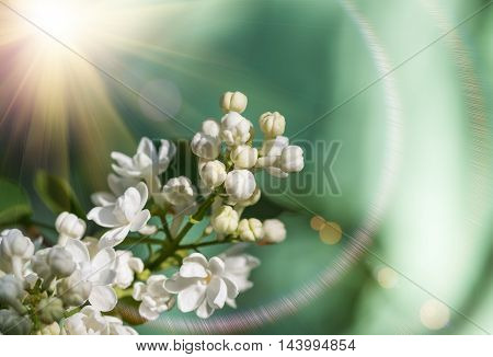 Macro image of spring lilac white flowers, abstract soft floral background