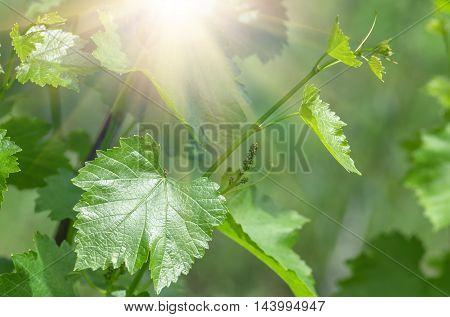 Young grape leaf closeup, macro, natural background