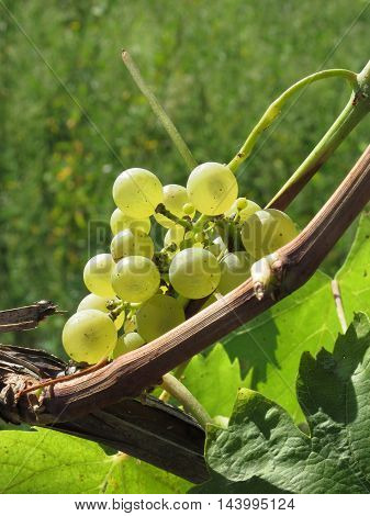 White grapes on the vine . Tuscany Italy