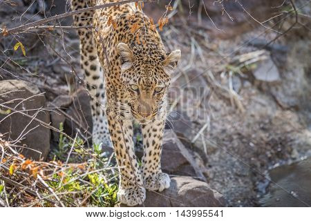 Leopard On A Rock In The Kruger.