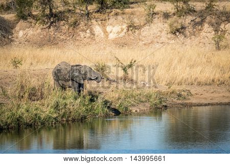 Elephant Drinking Water At A Dam In Kruger.