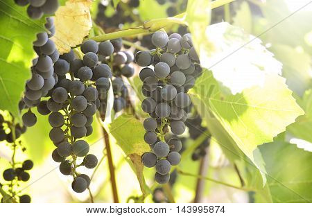 bunch of blue grapes on the vine in sunlight