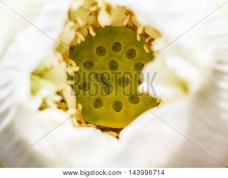 view of white lotus and an ant is swarming inside. soft focus of white lotus.