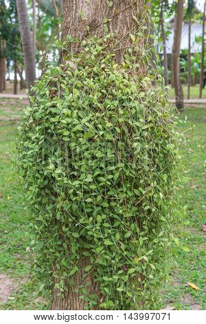 Dischidia Ruscifolia Or Million Hearts Plant On Tree