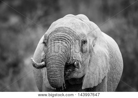 Close Up Of An Elephant Drinking In Black And White In Kruger.