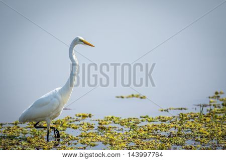 Great Egret In The Water In The Kruger.