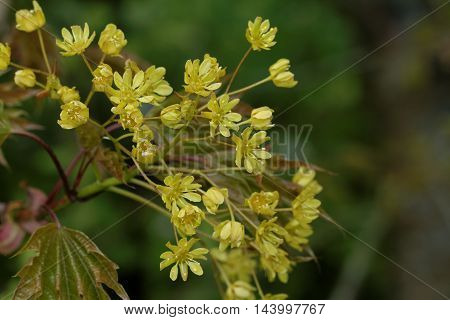 fresh blossom of the norway maple on natural background