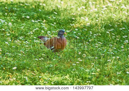 Common Wood Pigeon (Columba palumbus) in the Grass