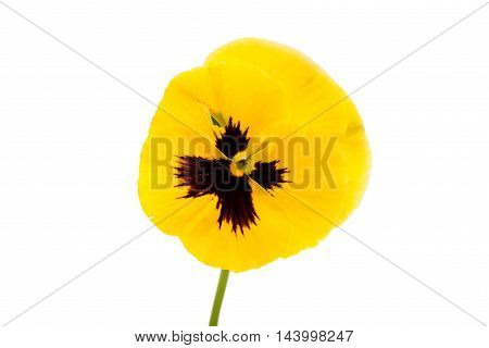 yellow  flowers pansies on a white background