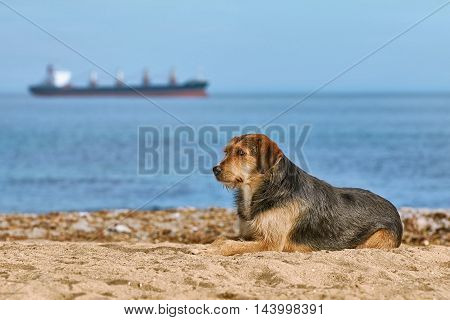 Mongrel Dog on the Shore in Front of View of the Ship on Horizon