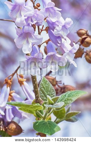 Paulownia Fortunei Flowers against the Flower Background