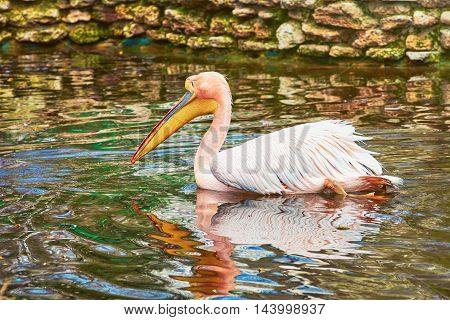 Pink Pelican Swims in the Pond near Stone Wall